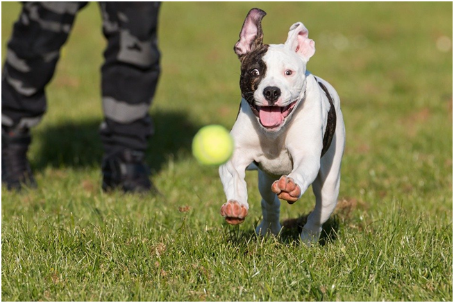 Everything You Need To Know About The American Bulldog
